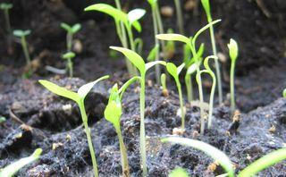 Seedling lead
